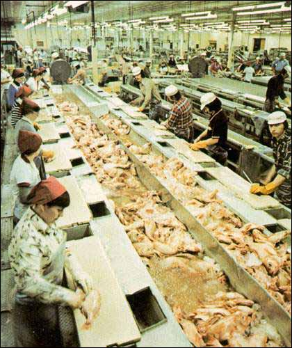 Following Confederation, Newfoundland and Labrador shifted away from the preparation of saltfish on community flakes and towards the production of fresh/frozen groundfish products in company-owned plants.