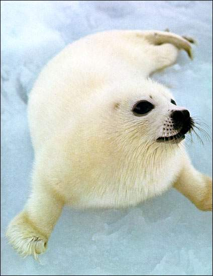 "Harp seal pups are also known as Whitecoats, named for their fuzzy white ""coat"" of hair which is shed within three weeks of birth."