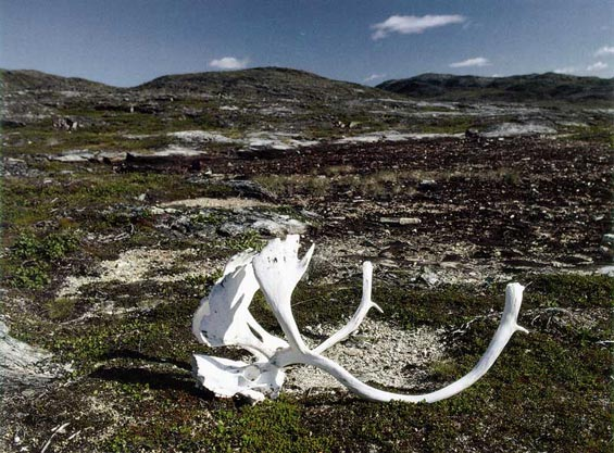 The antlers lying on the ground indicate the presence of caribou and other wildlife in this region.