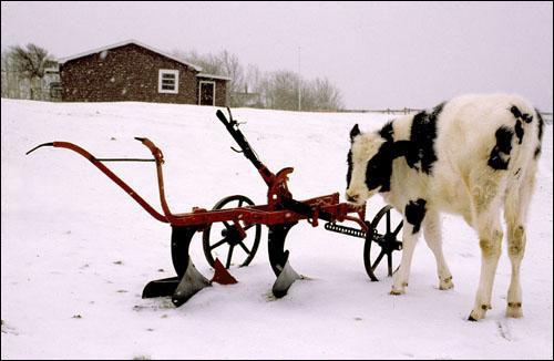A calf huddles near some equipment on a farm near St. John's during the first snowfall of winter.