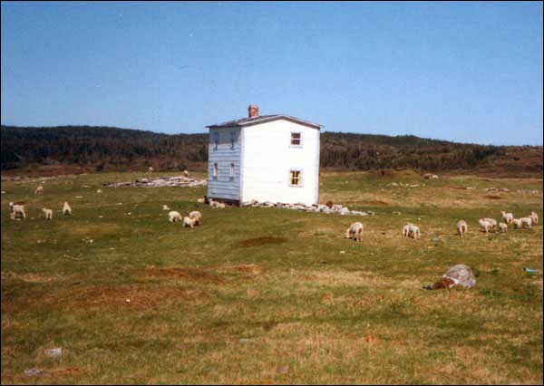 Sheep grazing at Cape Cove near Bernard Cluett's abandoned house. Although Cape Cove was resettled under the Centralization Programme, the population had already begun to dwindle in the 1930s with the decline of the cod and seal fisheries. To view other images visit the Maritime History Archive's  Cape Cove collection of images.